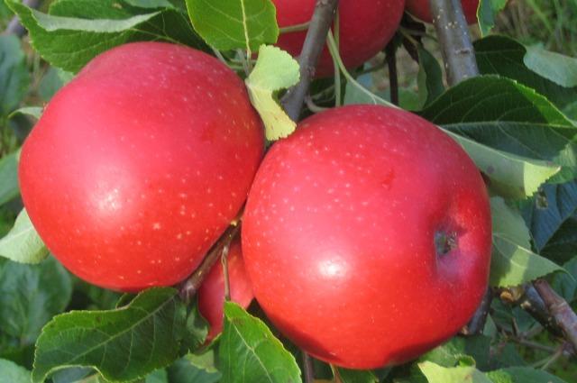 økologiske epler