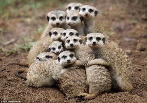 meerkat hugging